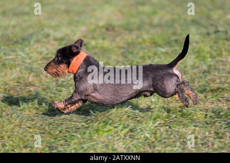 Wire-haired dachshund / wirehaired dachshund, short-legged, long-bodied, hound-type dog breed running in garden - Stock Photo