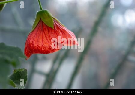 Single bright coral coloured Chinese lantern  'Abutilon x hybridum' bell shaped flower in macro. Bright grey bokeh background - Stock Photo