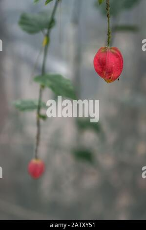 Macro shot of single pink 'Abutilon megapotamicum' bell flower in selective focus. Blurred out bokeh copy space in cool grey tones. Shot in natural li - Stock Photo
