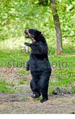 spectacled bear, Tremarctos ornatus, also known as the Andean bear, Andean short-faced bear, or mountain bear, adult standing on hind legs in defensiv - Stock Photo