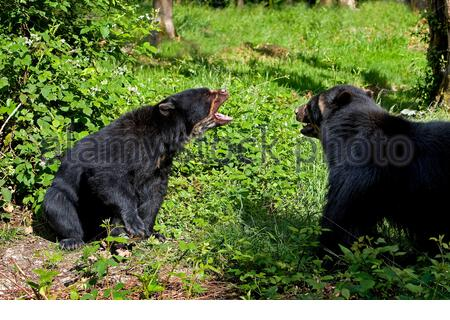 spectacled bear, Tremarctos ornatus, also known as the Andean bear, Andean short-faced bear, or mountain bear, adult fighting - Stock Photo