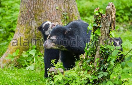 spectacled bear, Tremarctos ornatus, also known as the Andean bear, Andean short-faced bear, or mountain bear, mother and cub, playing, native to Sout - Stock Photo