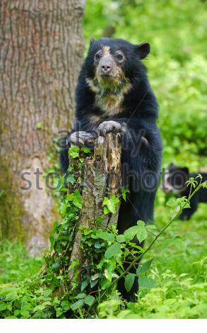 spectacled bear, Tremarctos ornatus, also known as the Andean bear, Andean short-faced bear, or mountain bear, native to South America - Stock Photo