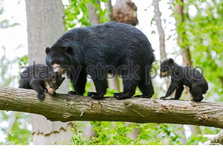spectacled bear, Tremarctos ornatus, also known as the Andean bear, Andean short-faced bear, or mountain bear, mother and cubs, climbing tree, native - Stock Photo