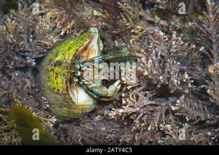 The little hermit crab (Pagurus bernhardus) feeds on the seaweed as the tide leaves it rock pool - Stock Photo
