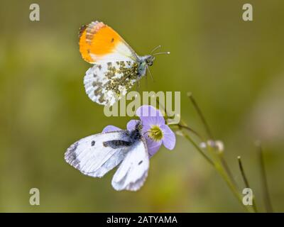 Orange tip (Anthocharis cardamines) butterfly mating on host plant cuckooflower (Cardamine pratensis) for caterpillars - Stock Photo