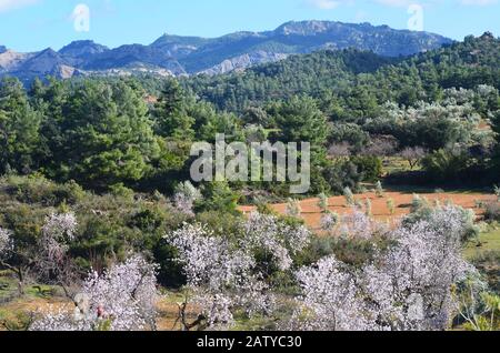 Almond trees blossoming near the village of Arnes (Tarragona)in Els Ports Natural Park, a Mediterranean mountain massif at the border between Aragon a - Stock Photo
