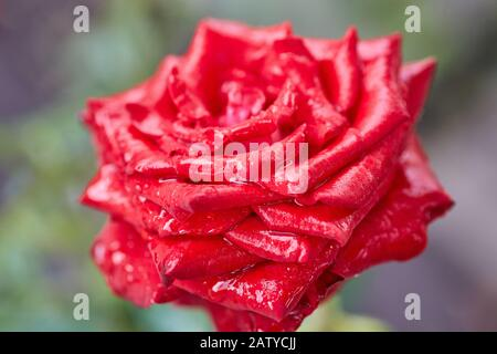 Red rose with dew drops on the petals. Red rose bloomed in the garden.