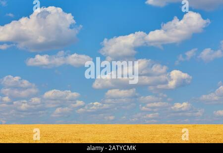 Field of Golden wheat under the blue sky and clouds - Stock Photo