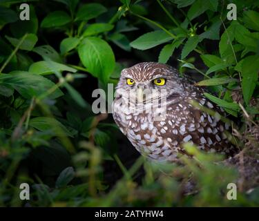 A very intense looking burrowing owl checks things out in South Florida. - Stock Photo
