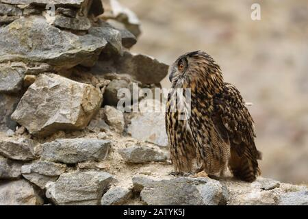 A big brown eared owl sits on an ancient stone wall. Bubo bubo, close up. Eurasian eagle-owl - Stock Photo