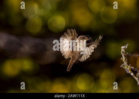 Eurasian Wren (Troglodytes troglodytes) flying with prey, Spain - Stock Photo
