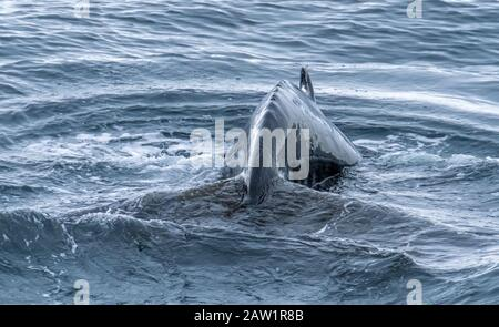 Close encounter with a group of humpback whales in the waters off the west coast of Graham Land in the Antarctic Peninsula, Antarctica. - Stock Photo