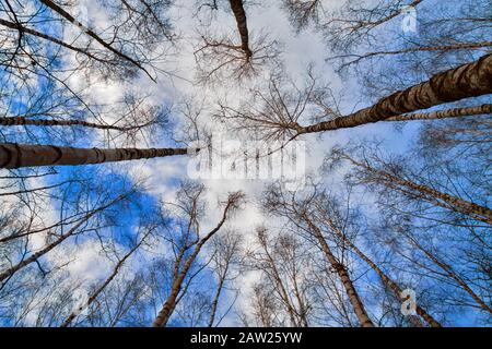 common birch, silver birch, European white birch, white birch (Betula pendula, Betula alba), leafless birch forest, worms-eye view, Germany, North Rhine-Westphalia - Stock Photo