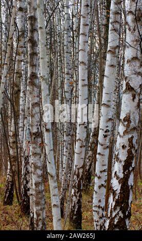 common birch, silver birch, European white birch, white birch (Betula pendula, Betula alba), leafless birch forest, section, Germany, North Rhine-Westphalia - Stock Photo