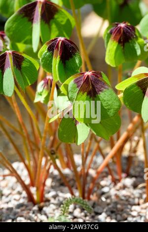 Close-up of leaves of Lucky Clover, Lucky Leaf, Four-Leaf-Sorrel, Oxalis tetraphylla, Wood Sorrel 'Iron Cross' - Stock Photo