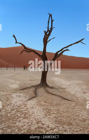 Scorched dead trees in front of sand dunes at sunrise before the sun hits the pan in Deadvlei, Sossusvlei, Namib-Naukluft National Park, Namibia