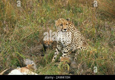 Cheetah, acinonyx jubatus, Female with Cub on a Kill, a Gazelle, Masai Mara Park in Kenya - Stock Photo