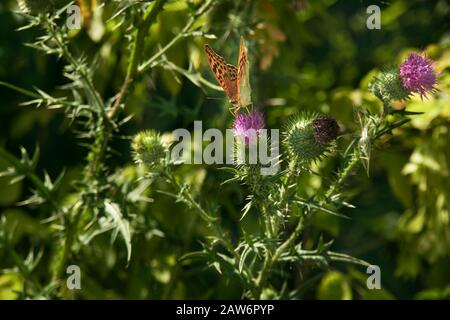 Bright beautiful orange butterfly hive nymphalis urticae on the purple thistle flower Cárduus. Natural pest of agricultural plants and pollinator of f - Stock Photo