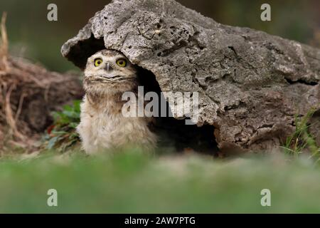 Burrowing Owl on the Look Out in front of Burrow III - Stock Photo