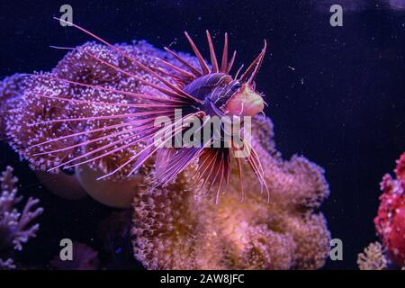 Underwater photograph of a Clearfin Lionfish (Pterois radiata) Photographed in the Red Sea, Eilat, Israel