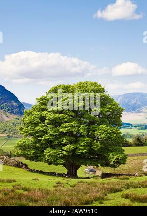 Oak Tree in a field in summer, Lake District National Park, Cumbria, UK - Stock Photo