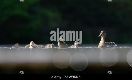 A mother duck and her ducklings swimming on shimmering waters Stock Photo