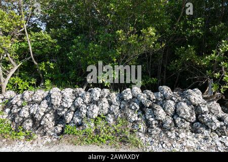 Shells are bagged and piled, ready to be deployed as part of the Oyster Reef Restoration Project at the Florida Oceanographic Coastal Center in Stuart. - Stock Photo