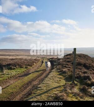 Blackface Sheep, Ovis aries, on the North Yorkshire Moors, Northern England, UK, GB.