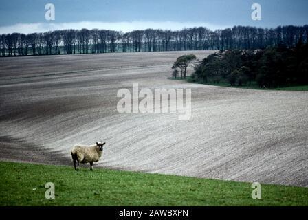A lone sheep at the rolling landscape on the Salisbury Plain near Stonehenge in England, UK - Stock Photo
