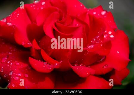 Red Rose with raindrops on petals