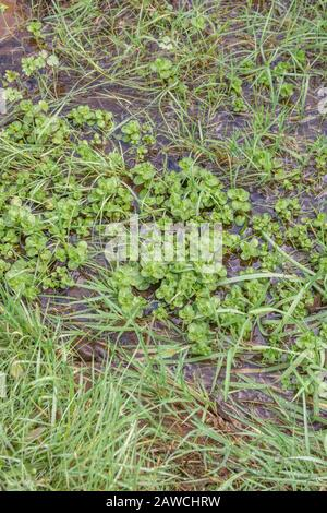 Brooklime / Veronica beccabunga foliage growing in freshwater drainage ditch. Foraged & survival food containing Vitamin C. Once used to cure scurvy. - Stock Photo