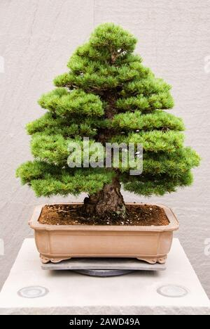 Miniature matured Japanese White Pine bonsai tree growing in a potted container. Age is unknown. - Stock Photo