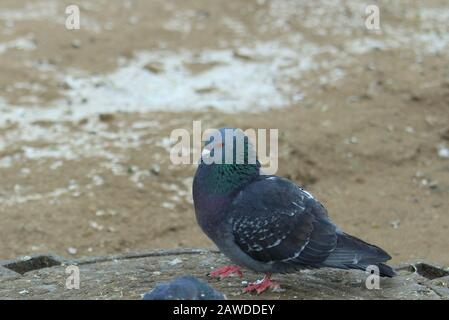 City pigeons walks on the dirty snow and frozen sand. Urban wildlife. Beautiful animal. - Stock Photo