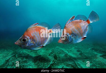 Boarfish, Capros aper, swimming over sand bottom. This species is widespread in the Eastern Atlantic, from western Norway, Skagerrak, the - Stock Photo