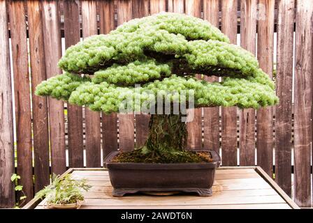 Miniature matured Japanese White Pine bonsai tree growing in a potted container. Aka Pinus Parviflora. - Stock Photo