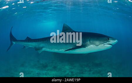 Tiger shark, Galeocerdo cuvier. Adult animal. Occurs on or adjacent to continental and insular shelves, frequenting river estuaries, off wharves - Stock Photo
