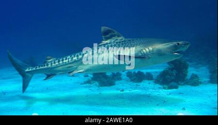 Tiger shark, Galeocerdo cuvier. Juvenile animal. Occurs on or adjacent to continental and insular shelves, frequenting river estuaries, off wharves - Stock Photo