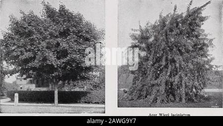 CMHobbs & Sons . Hydrangea arborescens sterilis—Hills of Snow. (See page 9). C. M. HOBBS & SONS, BRIDGEPORT, INDIANA 17. Acer Platanoides—Norway Maple. Wiers Cut-Leaved Weeping Maple. Deciduous Trees Acer - The Maples Acer dasycarpum (White or Silver Maple).A rapid growing tree of large size. Adapts it-self to a variety of soils, with the exception ofdry ground. var. dasycarpum Wieri lacinialum (WiersCut-leaved Weeping Maple). Graceful droop-ing branches. Especially attractive as a tall-growing lawn specimen. var. negimdo (Box Elder or Ash-leavedMaple). Large spreading- tree of rapid growth. v - Stock Photo