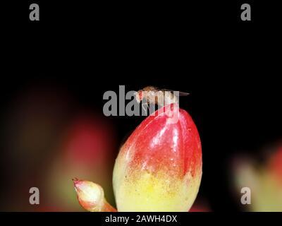 Drosophila melanogaster fruit fly on a flower - Stock Photo