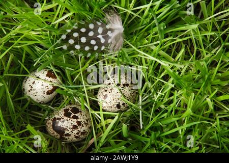 Three small, cute, variegated quail eggs and a feathery speck are hidden in the green grass. Spring holiday mood. Easter. Easter egg hunt. Christian t Stock Photo