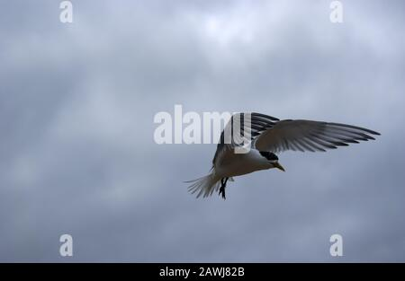 A Greater Crested tern  (Thalasseus bergii) also called crested or swift tern in-flight over coastal Western Australia. - Stock Photo