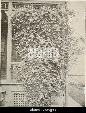 General catalogue of fruit and ornamental trees, shrubs, roses, etc . eason. 35c. CISSUS. C. variegata. Varieqated-leaved Cissus. A handsome running vine like a grape, with handsome variegatedthree-lobed leaves, and small clusters of dark colored fruit. 35c. CLEMATIS. Virgins Bower. Waldrebe, Ger. Clematite, Fr. None among hardy perennials exceed in beauty and effectiveness the finer sorts of Clematis. As a climber forthe veranda, a screen for fences, for pillars along the garden walks, for training on walls or arbors, in masses onrockwork, or cultivation in pots, it has no rival among strong- - Stock Photo