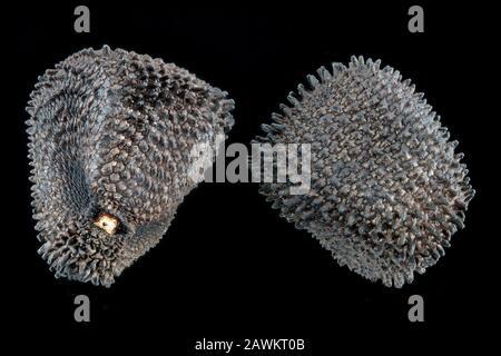 Agrostemma githago, Corn cockle, Kornrade, close up, seeds, 2-4 mm in diameter