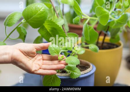 Growing Silver Spurflower. Hands of a woman are holding leaves of  this species of flowering plant in the mint family.