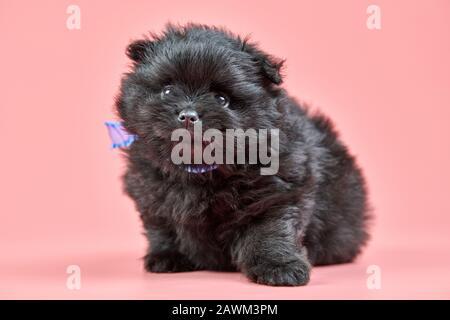Pomeranian Spitz puppy. Cute fluffy black Spitz dog on pink background. Family-friendly tiny Dwarf-Spitz pom dog. - Stock Photo