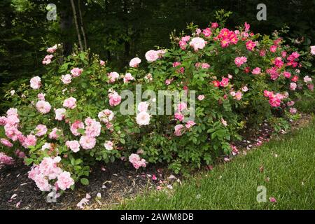 Pink Rosa - Rose bushes in border in front yard country garden in summer. - Stock Photo