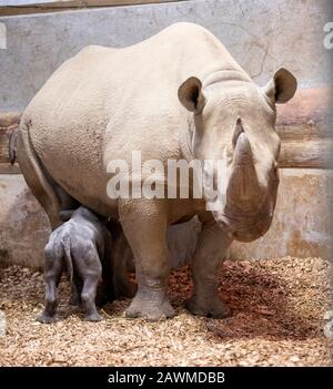 24.01.20 An Eastern Black Rhino Calf which was born to first time mum 'Dakima' at Folly Farm, Kilgetty Pembrokeshire on the 16th January. ©James Davies - Stock Photo