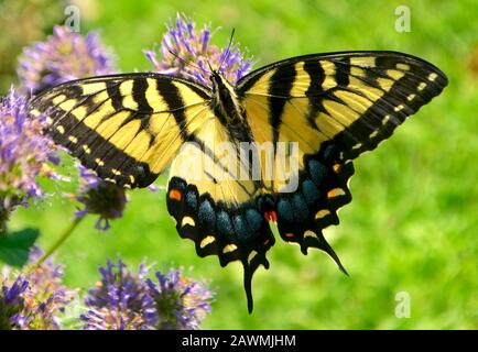 Close-up of an Eastern Tiger Swallowtail butterfly feeding on the nectar of purple Hyssop flowers. (Papilio glaucus) - Stock Photo