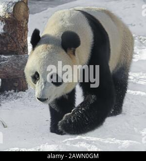 Giant panda (Ailuropoda melanoleuca), also known as panda bear or simply panda, on snow - Stock Photo